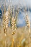 Le orecchie di grano non è ancora pronte per il raccolto Fotografia Stock Libera da Diritti
