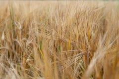 Le orecchie di grano non è ancora pronte per il raccolto Fotografie Stock Libere da Diritti