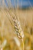 Le orecchie di grano non è ancora pronte per il raccolto Immagini Stock