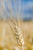 Le orecchie di grano non è ancora pronte per il raccolto Fotografia Stock