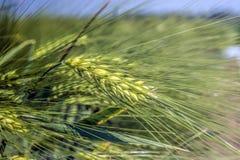 Le orecchie di orzo verde hanno ostruito con grano sui gambi lunghi, contro lo sfondo del campo immagine stock libera da diritti