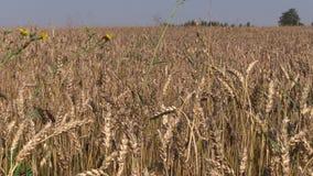 Le orecchie mature del raccolto di pianta del grano si muovono in vento stock footage