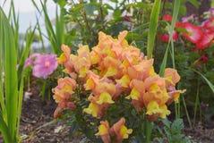 Le ortensie gialle fiorisce su una mattina della molla nella stazione della collina di Chaukori di Uttrakhand Fotografia Stock