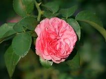 Le pâle - la couleur rose d'un plein a monté sur le fond des feuilles vertes rayonne la tendresse Image stock