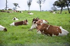 Le pâturage de vache Photographie stock