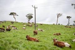 Le pâturage de vache Photographie stock libre de droits