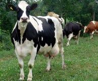 Le pâturage de vache pour le lait Images stock
