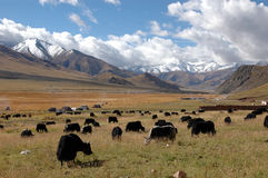 Le pâturage tibétain Images libres de droits
