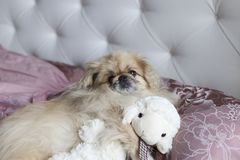 Le pékinois de chien se situe dans le lit Photos libres de droits