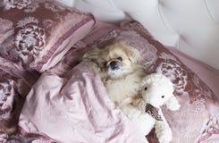 Le pékinois de chien se situe dans le lit Photographie stock
