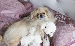 Le pékinois de chien se situe dans le lit Image libre de droits