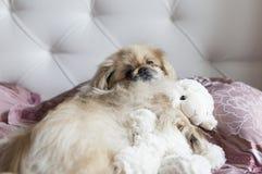 Le pékinois de chien se situe dans le lit Photo stock