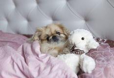 Le pékinois de chien se situe dans le lit Photos stock