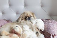 Le pékinois de chien se situe dans le lit avec des jouets Image stock