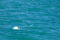 Le pélerin sautant sur la surface de mer avec l'eau de mer éclabousse Photos stock