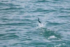 Le pélerin sautant sur la surface de mer avec l'eau de mer éclabousse Photographie stock