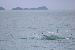 Le pélerin sautant sur la surface de mer avec l'eau de mer éclabousse Images stock