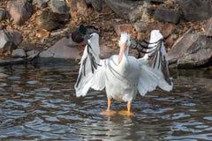 Le pélican blanc américain agite ses ailes tout en se tenant dans le lac photos libres de droits