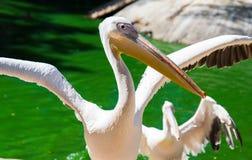 Le pélican blanc a répandu ses ailes sur l'étang Photographie stock