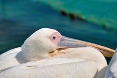 Le pélican blanc regarde avec un oeil dans l'objectif de caméra photographie stock libre de droits