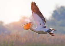 Le pélican blanc vole avec le bec grand ouvert Photo stock