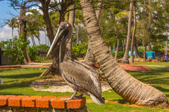 Le pélican dans le zoo Photo libre de droits
