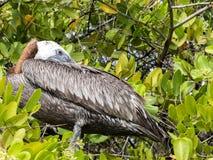 Le pélican de Brown, urinator d'occidentalis de Pelecanus, est une sous-espèce habitant dans Galapagos, Santa Cruz, Equateur Images stock
