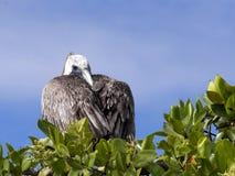 Le pélican de Brown, urinator d'occidentalis de Pelecanus, est une sous-espèce habitant dans Galapagos, Santa Cruz, Equateur Photo libre de droits