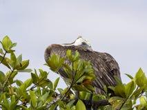 Le pélican de Brown, urinator d'occidentalis de Pelecanus, est une sous-espèce habitant dans Galapagos, Santa Cruz, Equateur Photographie stock