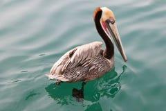 Le pélican de la Californie Brown dans la phase d'élevage colore la natation dans la marina de Cabo San Lucas dans Basse-Californ Images stock