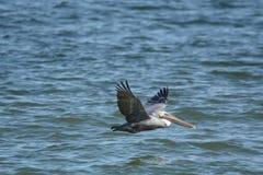Le pélican est un chasseur chaleureux de petits poissons d'amorce le long des régions côtières des Etats-Unis photos stock