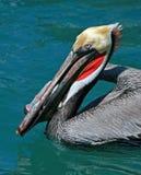 Le pélican mangeant des espadons pèlent tout en nageant dans le port de Cabo San Lucas Baja Mexico Photos stock