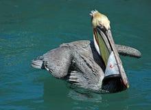 Le pélican mangeant des espadons pèlent tout en nageant dans les eaux bleues de sarcelle d'hiver du port de Cabo San Lucas Baja M Images stock