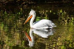 Le pélican nage dans l'étang photo stock