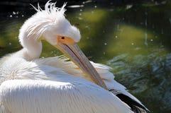 Le pélican simple près de l'étang met les ailes dans l'ordre photographie stock libre de droits