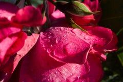 Le pétale de rose dans les baisses de pluie La rose est dans les gouttelettes de l'eau Photographie stock