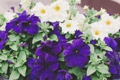 Le pétunia blanc et pourpre fleurit dans le pot sur le porche, fin  images libres de droits
