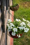 Le pétunia blanc fleurit dans des pots accrochants sur la fenêtre d'une maison de campagne Photographie stock libre de droits