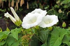 Le pétunia est un genre large-cultivé des usines fleurissantes Photo stock