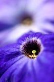 Le pétunia fleurit le plan rapproché Photos stock