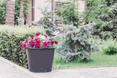 Le pétunia rouge et blanc fleurit dans le pot, fin  photographie stock