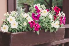 Le pétunia rouge et blanc fleurit dans le pot sur le porche, fin  photographie stock libre de droits