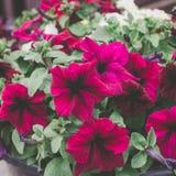 Le pétunia rouge fleurit dans le pot se levant sur le porche, fin images stock