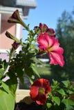 Le pétunia vibrant fleurit dans le petit jardin sur le balcon photo stock