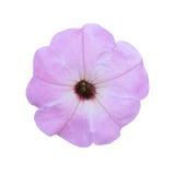 Le pétunia violet-clair a isolé a sur le fond blanc Photographie stock
