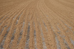Le paddy au sol sous la lumière du soleil Photographie stock