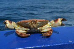 Le pagurus de tourteau dormeur/Cancer à bord d'un bateau Images libres de droits