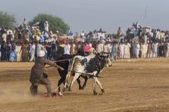 Le Pakistan rural, le frisson et le taureau d'apparat emballent photographie stock