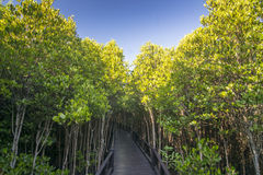 Le palétuvier de forêt chez Petchaburi, Thaïlande Image libre de droits