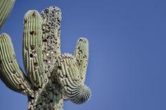 Le palle da golf hanno sparato nell'albero del cactus del saguaro Fotografie Stock